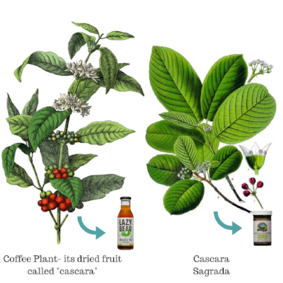 "Coffee plant, left, produces bright red cherry. After harvesting the beans from within the fruit, they can be dried and then referred to as ""cascara"" for Spanish word for husk. Cascara sagrada, right, is in the buckthorn family and its bark is used as a laxative. They may sound similar, but they are not at all the same :)"