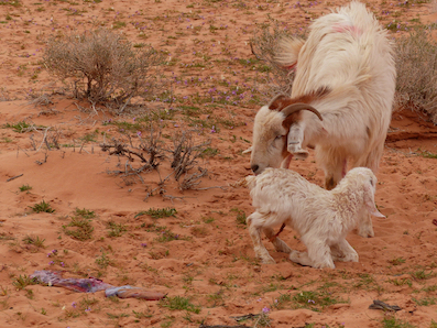 Newly born, maybe 10 minutes old. A kid of the desert