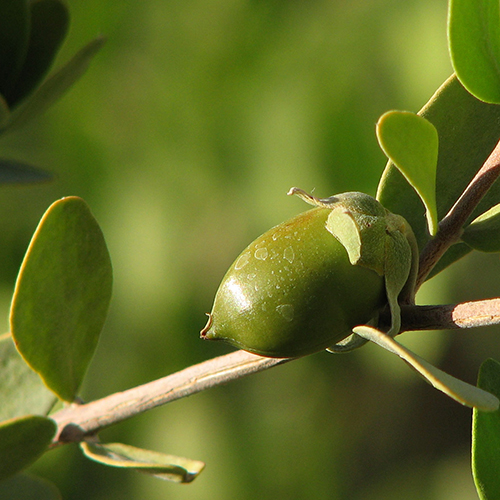 JOJOBA SEED OIL     Simmondsia chinensis   Botanical extract that helps to retain moisture, easily absorbed by skin and rich in minerals, Vitamin E and B.  BL, BB, HC     Photo credit