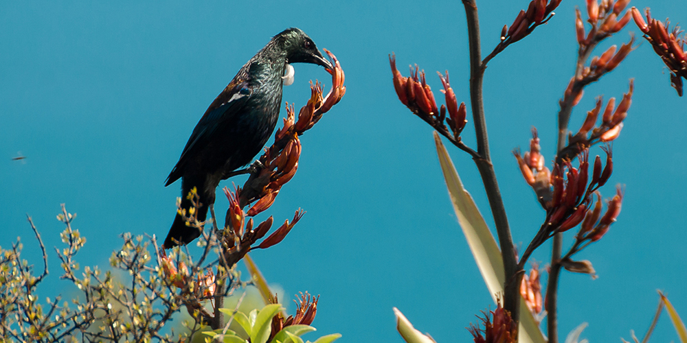 www.kiwiwise.co.nz_Tui feeding from Harakeke Flower.jpg