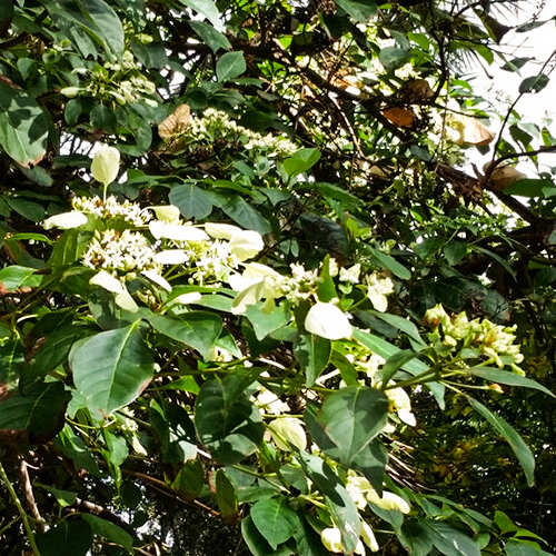 LEMONWOOD     Pittosporum eugenoides   New Zealand native tree with lemon­scented foliage and creamy yellow fragrant flowers that grow in clusters. Maori traditionally used the gum, as well as the crushed leaves and flowers, which could be used as a scent.    Photo credit