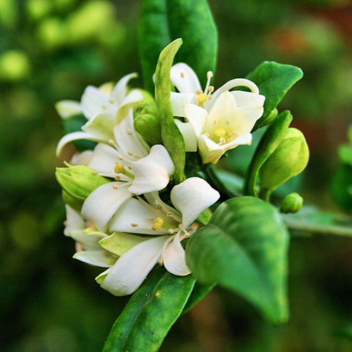 JASMINE Jasmine officinale leaf Jasmine is a climbing shrub with dark green leaves and white star-shaped flowers with a rich, floral fragrance.