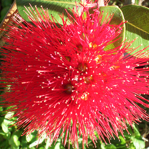 POHUTUKAWA     Metrosideros excelsa   Pohutukawa is a native NewZealand coastal tree, with bright crimson flowers, considered to be New Zealand's Christmas tree. It's known for its toning, moisturising and regenerating properties.