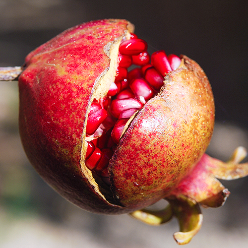 POMEGRANATE Punica granatum Pomegranate extract is considered a super anti-­oxidant and also is naturally soothing and hydrating.