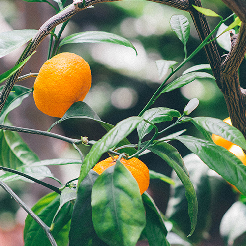MANDARIN ORANGE Citrus nobilis The essential oil is extracted by cold compression of the fresh peels of these fruits. It contains properties that are antiseptic and calming and is a good body tonic.