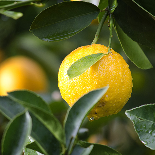 ORANGE     Citrus aurantium dulcis   The sweet, citrus aroma of Orange Oil is extracted from the peel of Sweet Oranges. The oil contains anti-­inflammatory properties, and soothes the skin.