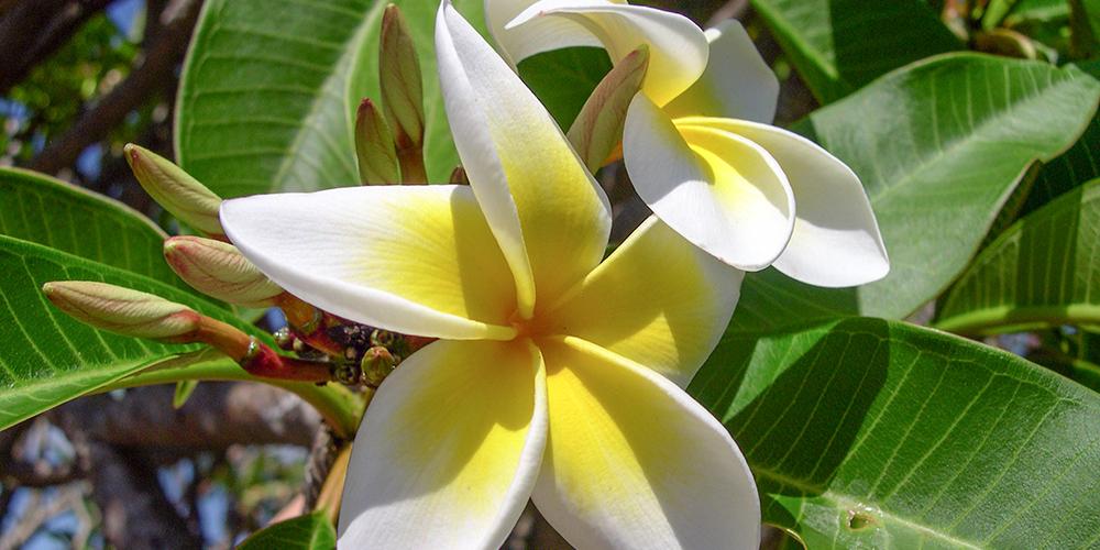 pexels.com_plumeria-flower-frangipani-plant-63616.jpg