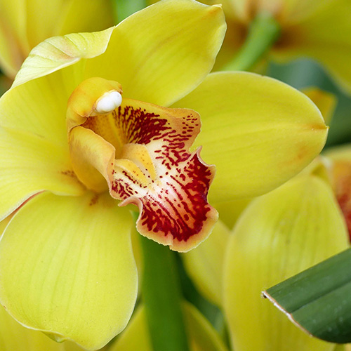 ORCHID     Cymbidium grandiflorum extract   Orchid Flower extract has reparative and protective properties. Orchids are known for their emollient and antioxidant properties, and also for smoothing the appearance of skin.    Photo credit