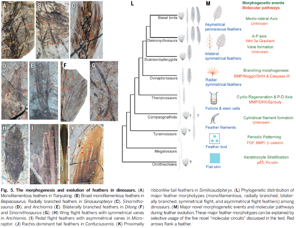 The distribution of feathers among dinosaurs with photos of fossil feather impressions. (Taken from  An integrative approach to understanding bird origins , Xu et al. 2014)