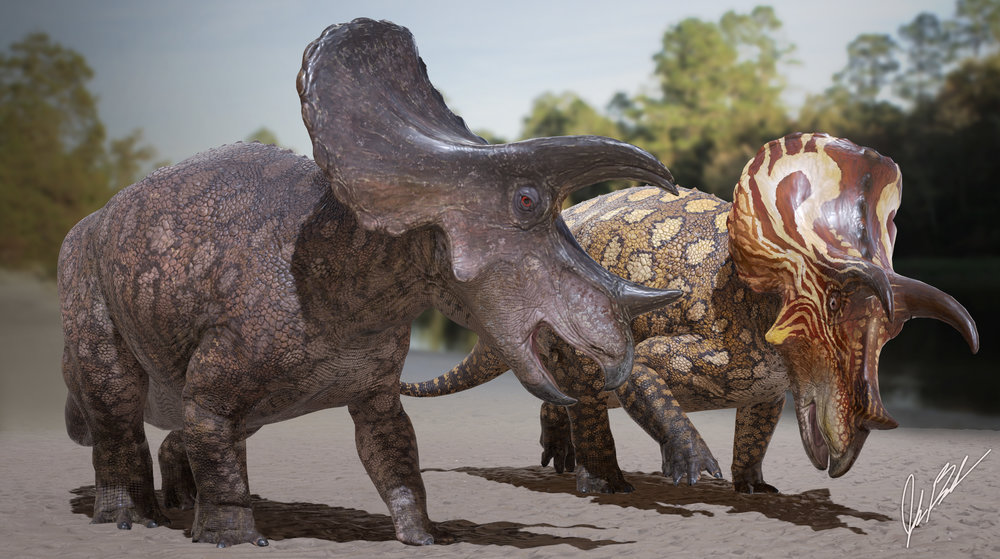 Female and male  Triceratops .