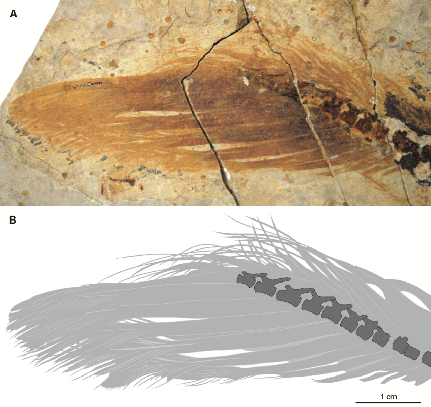 Developing tail-fan feathers in a juvenile  Similicaudipteryx , from O'Connor  et al.  2012  Homology and Potential Cellular and Molecular Mechanisms for the Development of Unique Feather Morphologies in Early Birds.