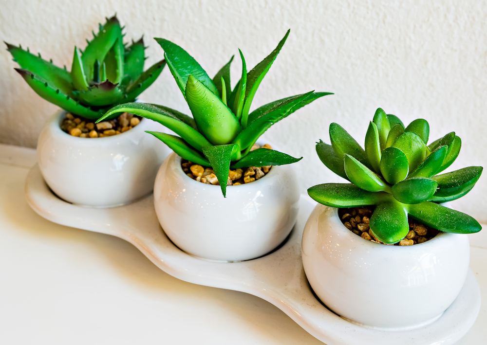 Versatile Aloe - perfect for indoors.
