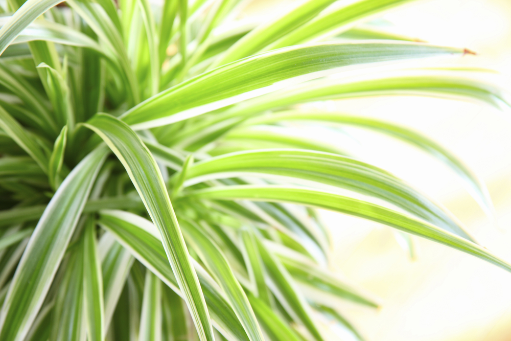 Spider plants are a popular indoor option.