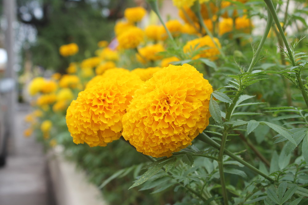 4. Marigold - The unpleasant smell of the marigold is a ripper when it comes to putting off mozzies.