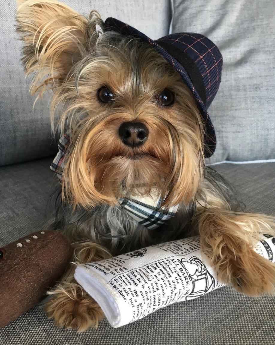 He's dapper. He's debonair. He's Sherlock the canine crime fighter!