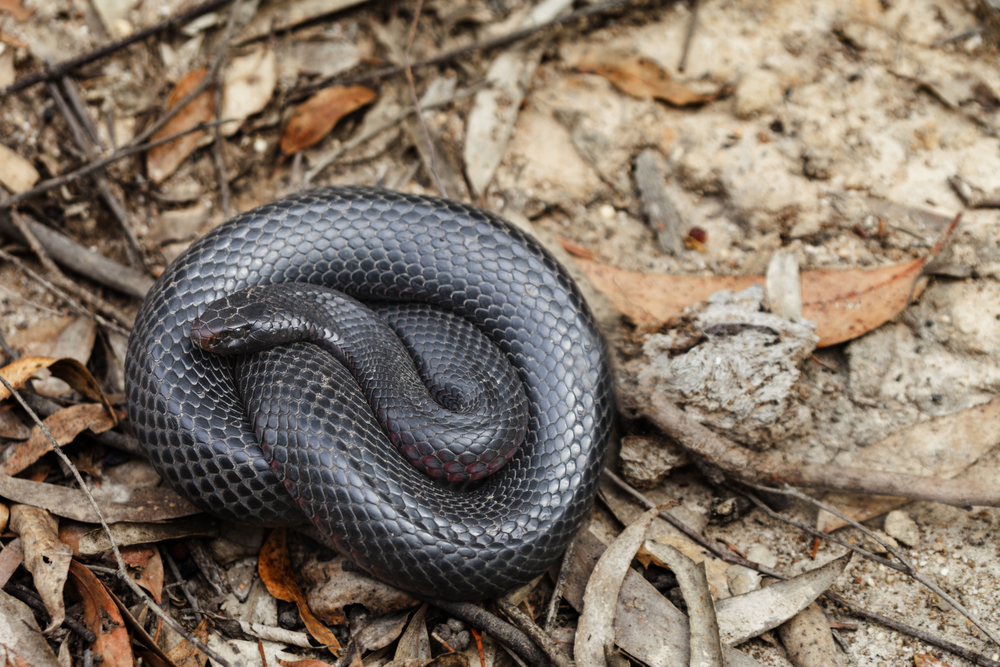 Red Belly Black snakes are venomous.