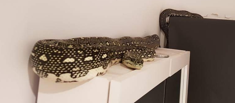 A Diamond Python captured in a north shore house recently.