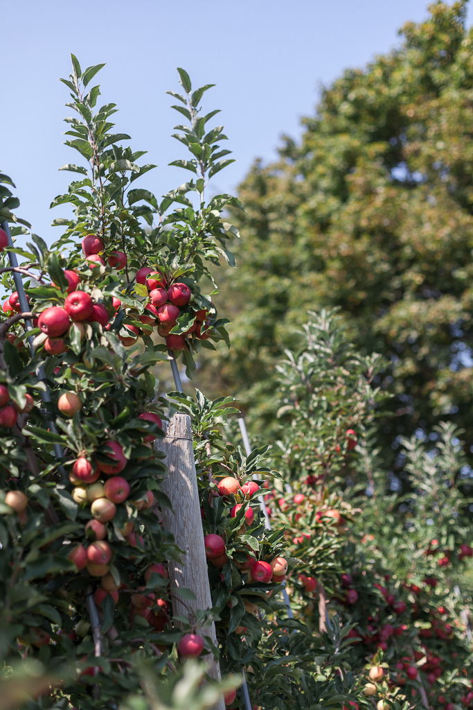 apples.2.jpg