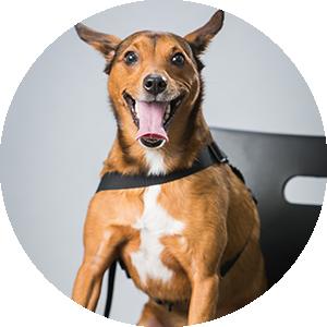 Sophia   Therapy Dog