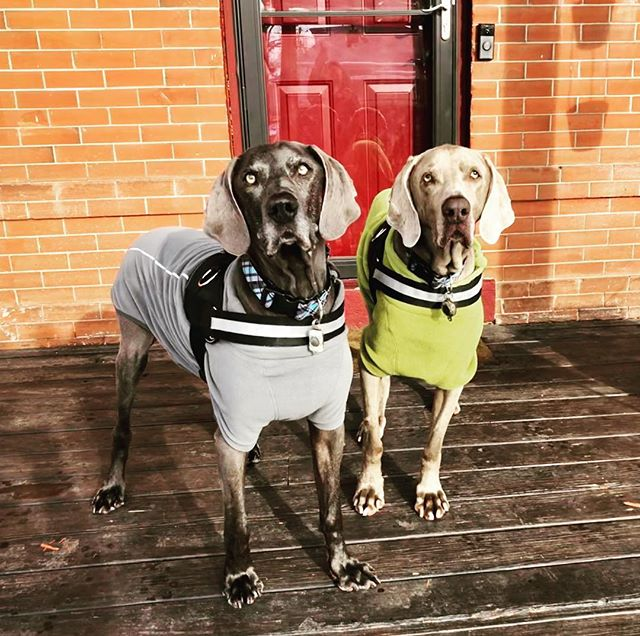 Happ national pet day from our beloved canine companions Drake and Riley #weimbrothers #seniordogs #foodismedicine #foodiseverything #ibddogs #cancerdogs
