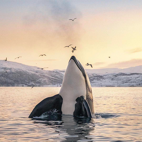 HIM: Orca