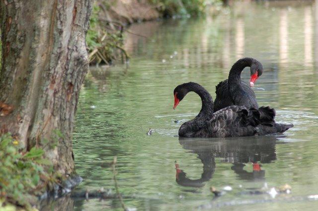 Black Swan-2.JPG