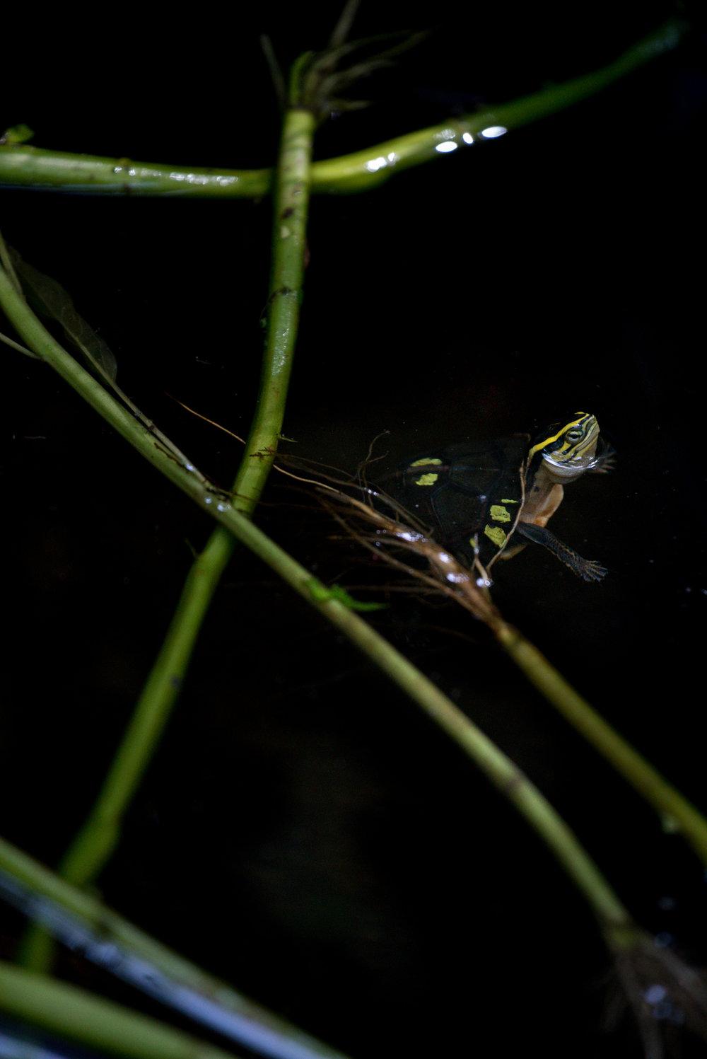 Cuora amboinensis kamaroma_cACCB_Anna Chah-1.jpg