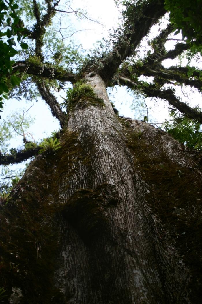 Ceibo / Kapok tree