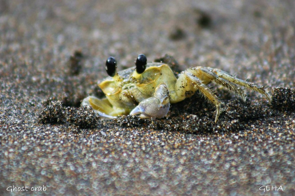 Sentir Costa Rica ghost crab