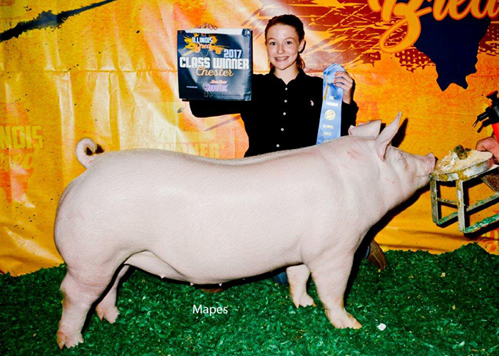 Class Winning Chester Gilt | Illinois State Fair 2017