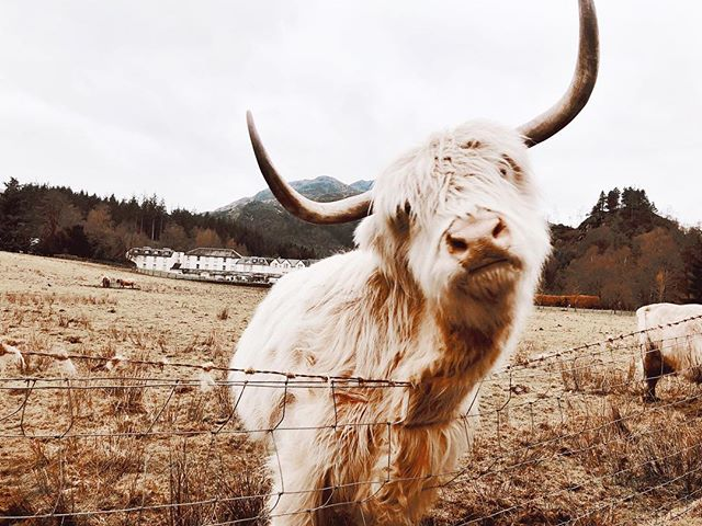 Curiosity kilt the yak #ScottishFeels 🏴 (📷@simplyhannahjo)