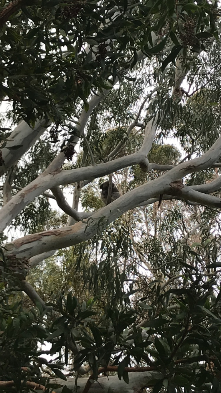 koala beer.JPG