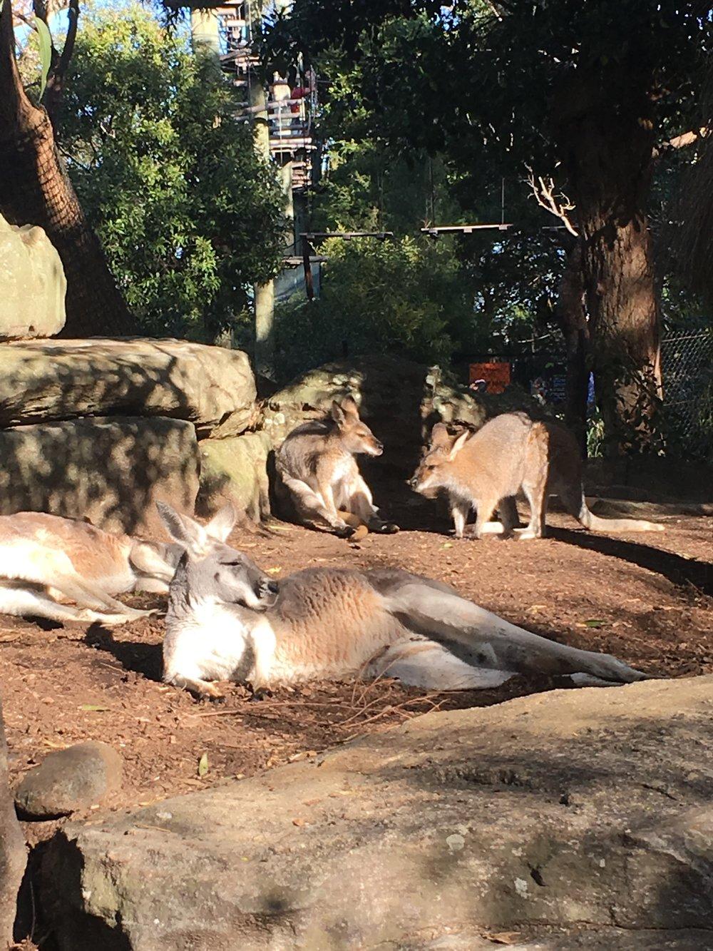 Kangaroos in Sydney