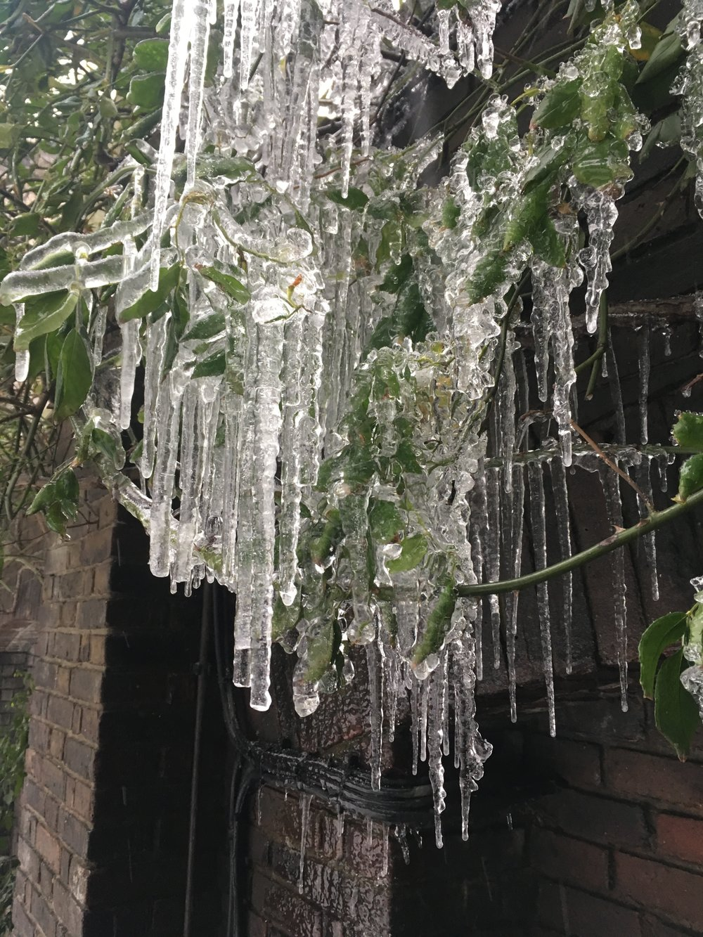 Icicles in the Goldsmiths' Company garden later in the week.