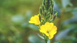 Evening Primrose Oil, it's What Mother Nature Intended for Your Hair. -