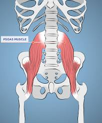 You can see here what a massive muscle the psoas is.