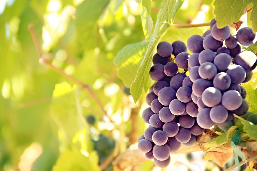 Vineyard-Christian-Stock-Images-3 2.jpg