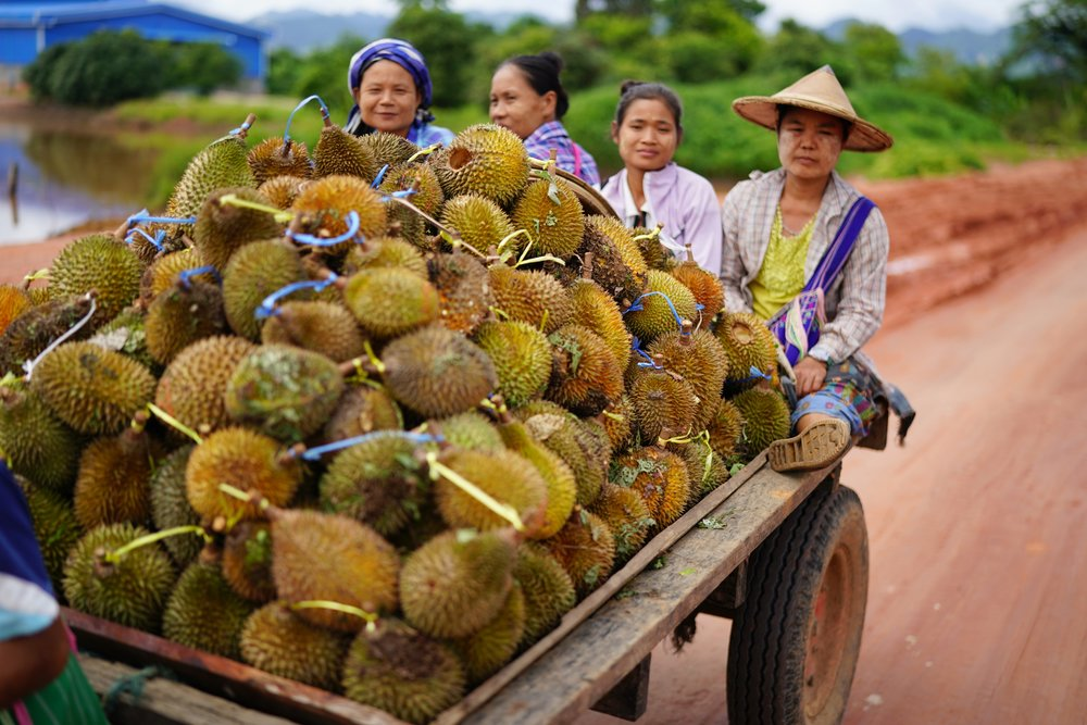 Durian Farmers in Myawaddy