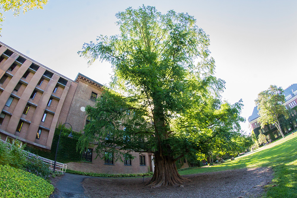 The redwood tree behind Neilson Library is a prominent but under appreciated landmark on Smith campus.