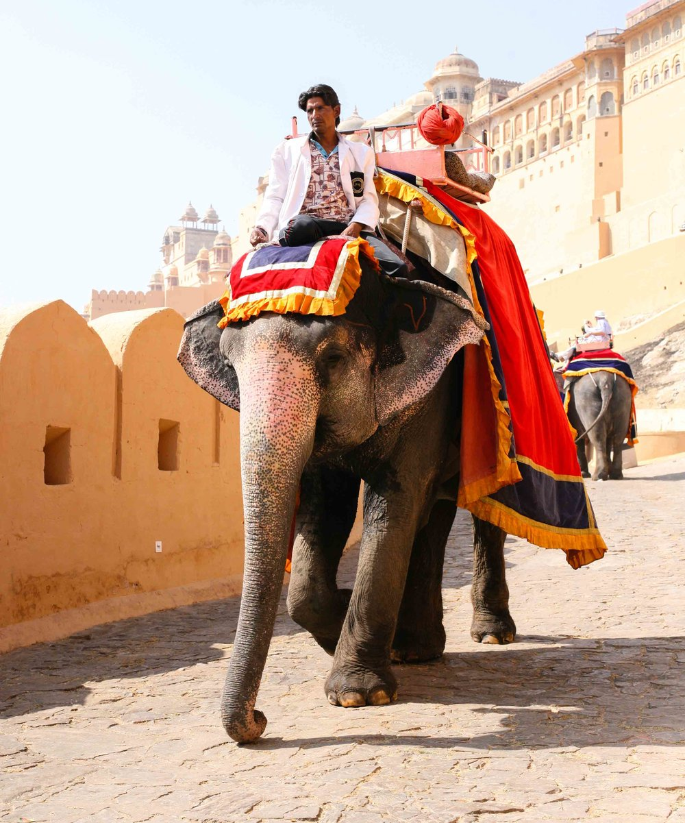 The elephants at Amber Fort climb steep stone pathways in extreme heat, for the pleasure of tourists. As people become aware of the cruelty, more and more choose to forsake the experience and leave the drivers with their empty seats.