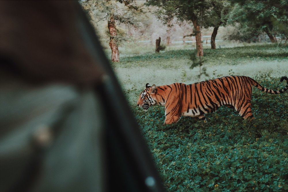 Ladli the tiger, Ranthambore National Park, INSPIRED INDIA 2018