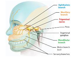 small trigeminal-nerve (1).jpg