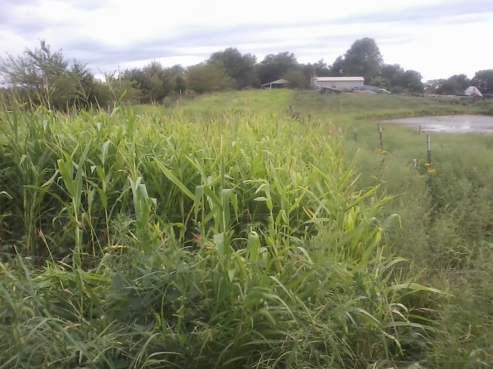 highly errodable land sown down to corn and bean mix and ready to strip graze.jpg