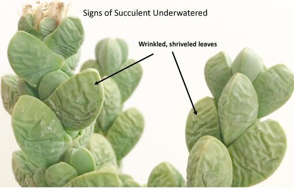 signs_of_succulent_underwatered_c8f39b3b-b748-4f5f-bf31-9437e0529d86_grande.jpg