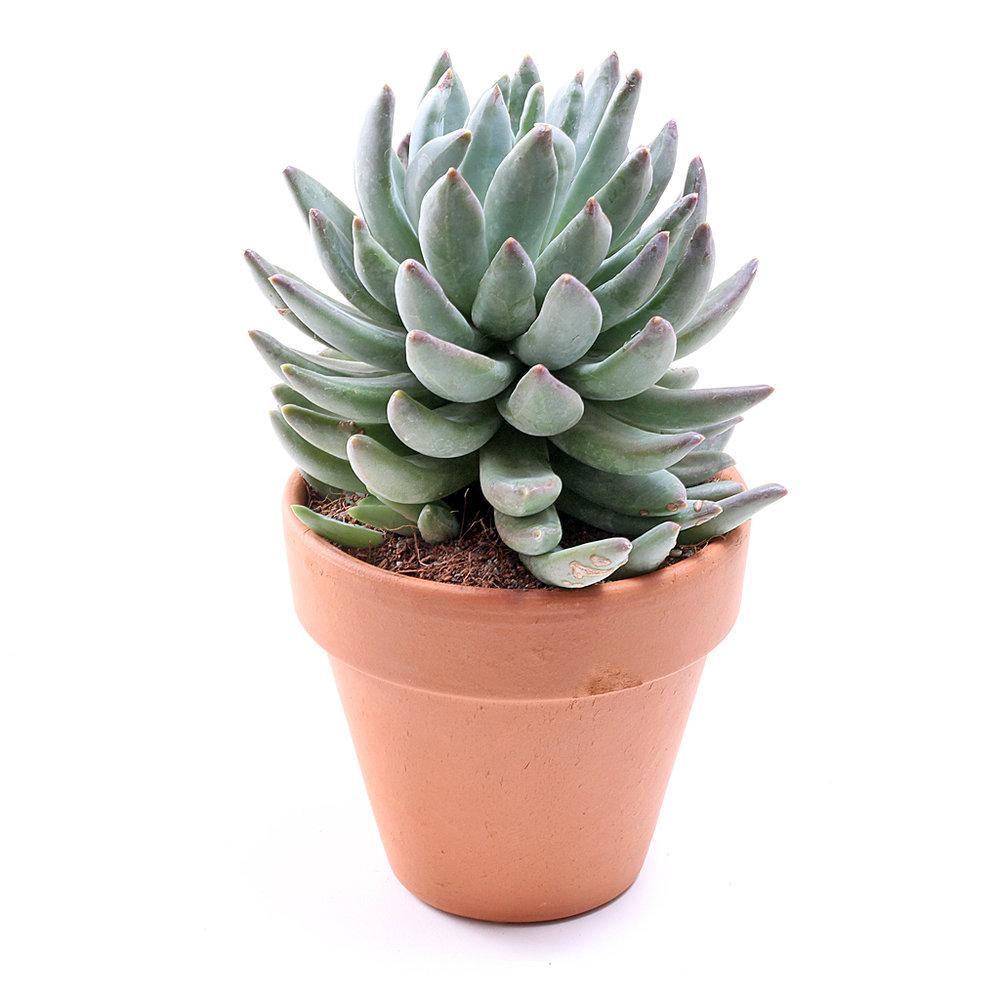 A healthy, plump, happy succulent.   Photo Source:  Mountain Crest