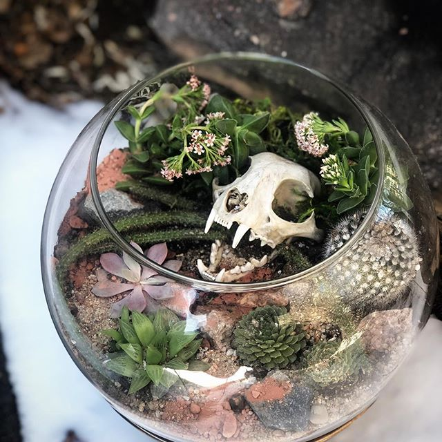 "TGIF! I hope everyone has exciting plans for the weekend. We will be busy prepping for the Tulsa @odditiesandcuriositiesexpo on February 23rd. This piece will be making the trek with us to Oklahoma. . . One weathered Bobcat skull with a beautiful blooming Crassula ""Springtime"" succulent and an assortment of cacti 🌵 Set on a repurposed vintage stand. #terrorium #terrarium #skullart #denverdiy #denverart #denvercolorado #macabre #denverartist #animalskull #nature #natureart #oddities #odditiesandcuriosities #odditiesandantiques #naturephotography #vultureculture #greenthumb #greenmagic #witchesofinstagram #odditiesandcuriositiesexpo #etsy #etsyshop #etsyfinds #succulents #plants #plantsofinstagram #bones #cacti #succulentsofinstagram #planters"