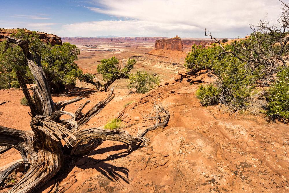 Gnarled Tree Limbs
