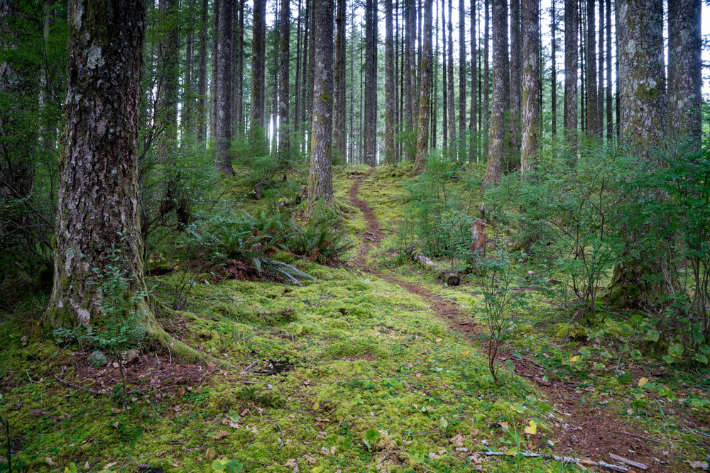 I never tire of visiting South Lake in the Tillamook State Forest.  The trodden paths wind between the pines.