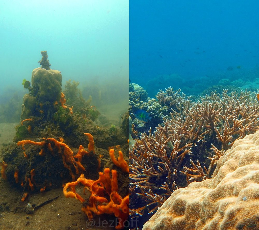 Sponge ecology - Sponges are well known because of the contribution to the functioning of coral reef ecosystems (i.e., bioerosion, competition, nutrient cycling, biodiversity, productivity). However, their role in the ecosystem may change as reef sustain greater levels of disturbance. Yet, how do sponges response to a number of perturbations and stressors, and moreover, how does this affect sponge-driven process in the ecosystem is poorly understood. MSEL is currently exploring at potential drivers on the structure of sponge population and communities (i.e., hurricanes, macroalgal competition and predation), looking at expanding our current knowledge on the ecosystem.
