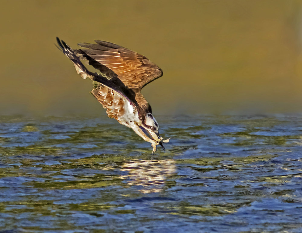 and osprey ( Pandion haliaetus ).